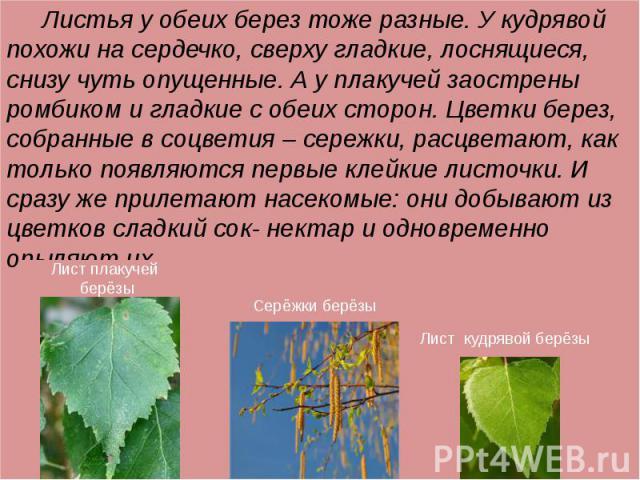 Листья у обеих берез тоже разные. У кудрявой похожи на сердечко, сверху гладкие, лоснящиеся, снизу чуть опущенные. А у плакучей заострены ромбиком и гладкие с обеих сторон. Цветки берез, собранные в соцветия – сережки, расцветают, как только появляю…