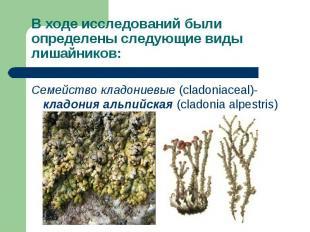 Семейство кладониевые (cladoniaceal)- кладония альпийская (cladonia alpestris) С