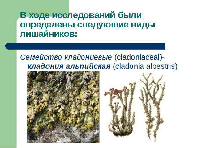 Семейство кладониевые (cladoniaceal)- кладония альпийская (cladonia alpestris) Семейство кладониевые (cladoniaceal)- кладония альпийская (cladonia alpestris)