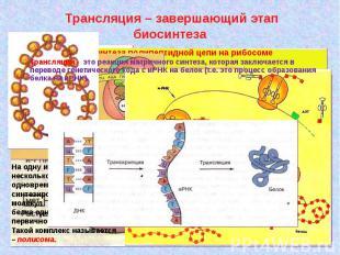 Трансляция – завершающий этап биосинтеза