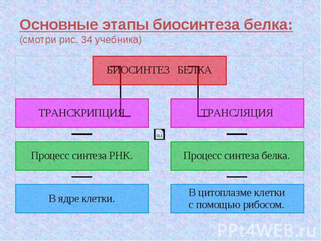 Основные этапы биосинтеза белка:(смотри рис. 34 учебника)