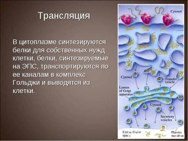 В цитоплазме синтезируются белки для собственных нужд клетки, белки, синтезируемые на ЭПС, транспортируются по ее каналам в комплекс Гольджи и выводятся из клетки. В цитоплазме синтезируются белки для собственных нужд клетки, белки, синтезируемые на…
