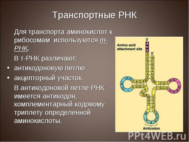 Для транспорта аминокислот к рибосомам используются т-РНК. Для транспорта аминокислот к рибосомам используются т-РНК. В т-РНК различают: антикодоновую петлю акцепторный участок. В антикодоновой петле РНК имеется антикодон, комплементарный кодовому т…