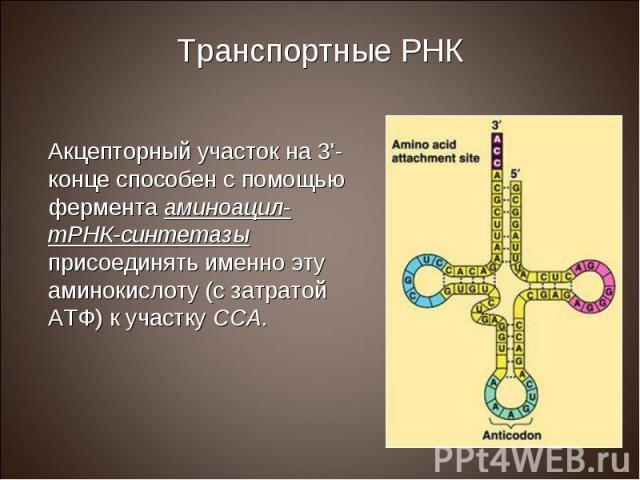 Акцепторный участок на 3'-конце способен с помощью фермента аминоацил-тРНК-синтетазы присоединять именно эту аминокислоту (с затратой АТФ) к участку ССА. Акцепторный участок на 3'-конце способен с помощью фермента аминоацил-тРНК-синтетазы присоединя…