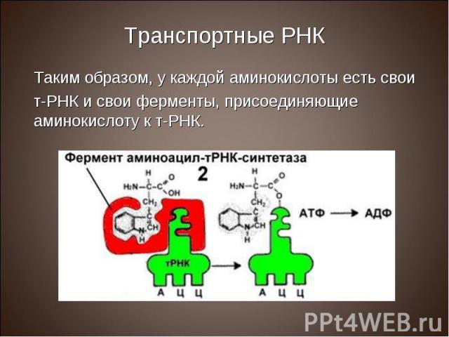 Таким образом, у каждой аминокислоты есть свои Таким образом, у каждой аминокислоты есть свои т-РНК и свои ферменты, присоединяющие аминокислоту к т-РНК.