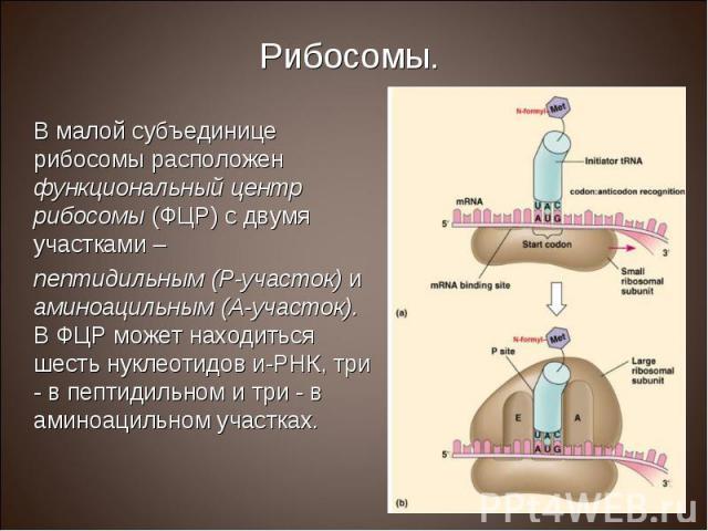 В малой субъединице рибосомы расположен функциональный центр рибосомы (ФЦР) с двумя участками – В малой субъединице рибосомы расположен функциональный центр рибосомы (ФЦР) с двумя участками – пептидильным (Р-участок) и аминоацильным (А-участок). В Ф…