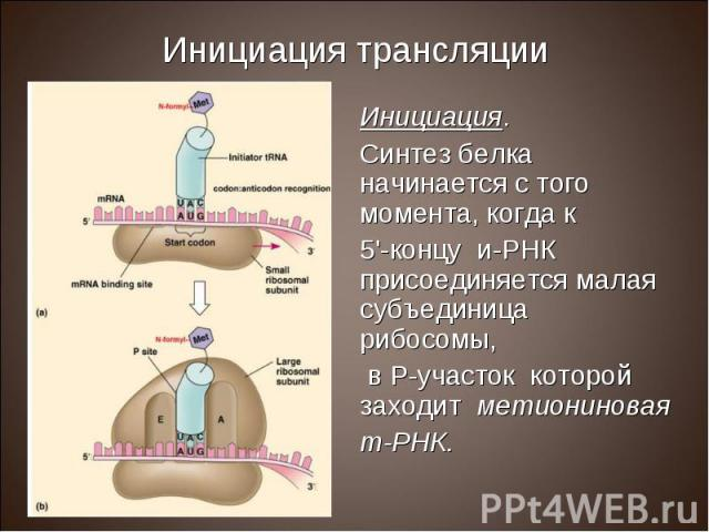 Инициация. Инициация. Синтез белка начинается с того момента, когда к 5'-концу и-РНК присоединяется малая субъединица рибосомы, в Р-участок которой заходит метиониновая т-РНК.