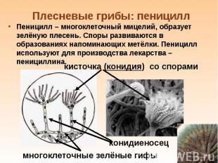 Пеницилл – многоклеточный мицелий, образует зелёную плесень. Споры развиваются в