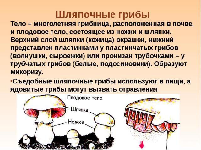 Тело – многолетняя грибница, расположенная в почве, и плодовое тело, состоящее из ножки и шляпки. Верхний слой шляпки (кожица) окрашен, нижний представлен пластинками у пластинчатых грибов (волнушки, сыроежки) или пронизан трубочками – у трубчатых г…