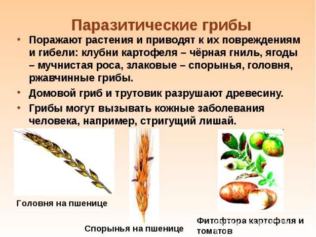 Поражают растения и приводят к их повреждениям и гибели: клубни картофеля – чёрная гниль, ягоды – мучнистая роса, злаковые – спорынья, головня, ржавчинные грибы. Поражают растения и приводят к их повреждениям и гибели: клубни картофеля – чёрная гнил…