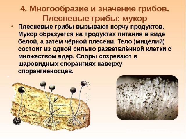 Плесневые грибы вызывают порчу продуктов. Мукор образуется на продуктах питания в виде белой, а затем чёрной плесени. Тело (мицелий) состоит из одной сильно разветвлённой клетки с множеством ядер. Споры созревают в шаровидных спорангиях наверху спор…