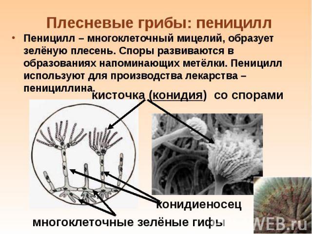 Пеницилл – многоклеточный мицелий, образует зелёную плесень. Споры развиваются в образованиях напоминающих метёлки. Пеницилл используют для производства лекарства – пенициллина. Пеницилл – многоклеточный мицелий, образует зелёную плесень. Споры разв…