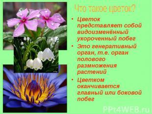 Цветок представляет собой видоизменённый укороченный побег Цветок представляет с