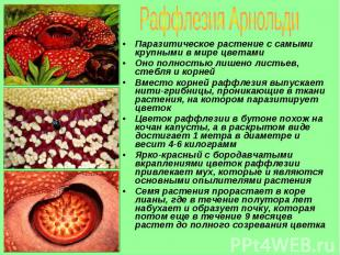 Паразитическое растение с самыми крупными в мире цветами Паразитическое растение