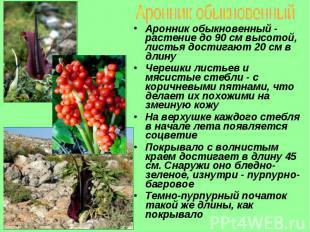 Аронник обыкновенный - растение до 90 см высотой, листья достигают 20 см в длину