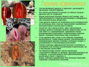 Насекомоядный цветок и паразит, растущий в пустынях Южной Африки Насекомоядный ц