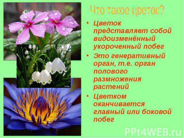 Цветок представляет собой видоизменённый укороченный побег Цветок представляет собой видоизменённый укороченный побег Это генеративный орган, т.е. орган полового размножения растений Цветком оканчивается главный или боковой побег