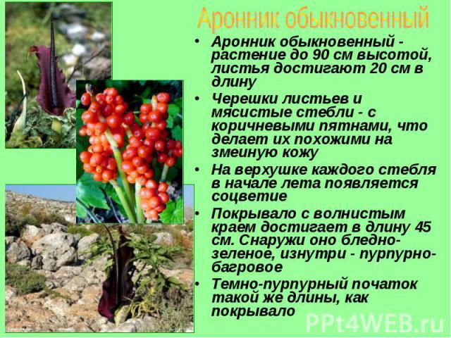Аронник обыкновенный - растение до 90 см высотой, листья достигают 20 см в длину Аронник обыкновенный - растение до 90 см высотой, листья достигают 20 см в длину Черешки листьев и мясистые стебли - с коричневыми пятнами, что делает их похожими на зм…