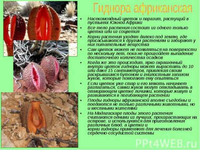 Насекомоядный цветок и паразит, растущий в пустынях Южной Африки Насекомоядный цветок и паразит, растущий в пустынях Южной Африки Все тело растения состоит из одного только цветка или из соцветия Корни растения уходят далеко под землю, где присасыва…