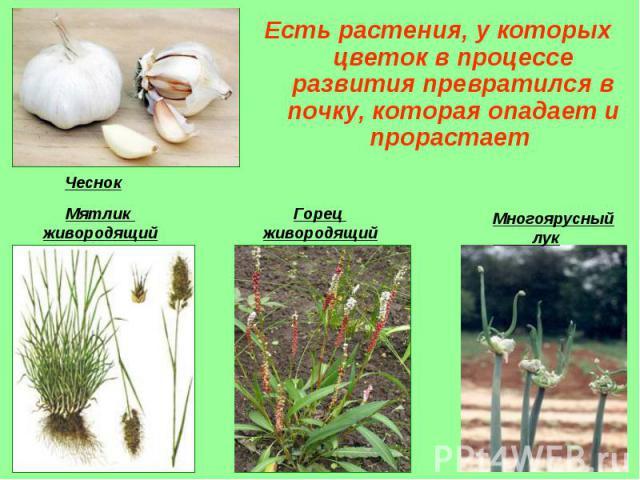 Есть растения, у которых цветок в процессе развития превратился в почку, которая опадает и прорастает Есть растения, у которых цветок в процессе развития превратился в почку, которая опадает и прорастает