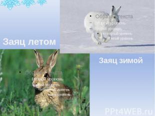 Заяц летом Заяц зимой