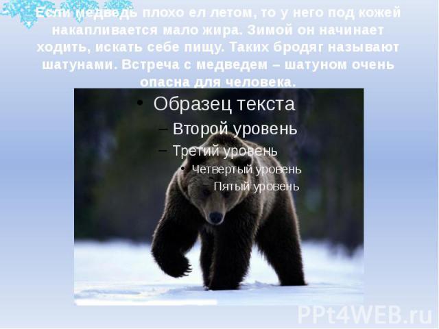 Если медведь плохо ел летом, то у него под кожей накапливается мало жира. Зимой он начинает ходить, искать себе пищу. Таких бродяг называют шатунами. Встреча с медведем – шатуном очень опасна для человека.