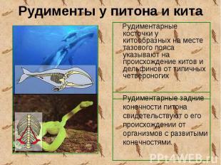 Рудиментарные косточки у китообразных на месте тазового пояса указывают на проис