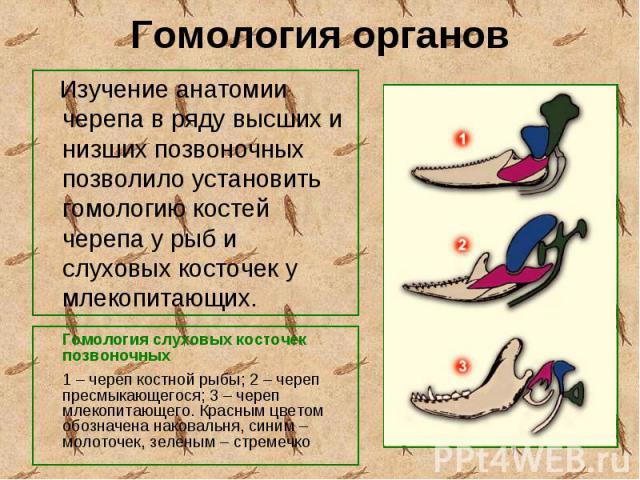 Гомология слуховых косточек позвоночных Гомология слуховых косточек позвоночных 1–череп костной рыбы; 2–череп пресмыкающегося; 3–череп млекопитающего. Красным цветом обозначена наковальня, синим–молоточек, з…