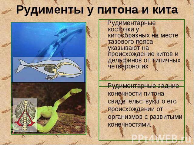 Рудиментарные косточки у китообразных на месте тазового пояса указывают на происхождение китов и дельфинов от типичных четвероногих Рудиментарные косточки у китообразных на месте тазового пояса указывают на происхождение китов и дельфинов от типичны…