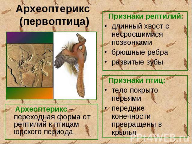 Археоптерикс – переходная форма от рептилий к птицам юрского периода. Археоптерикс – переходная форма от рептилий к птицам юрского периода.
