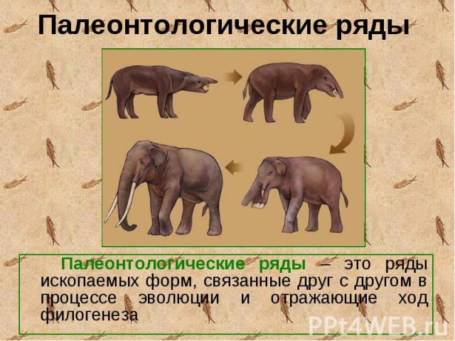 Палеонтологические ряды – это ряды ископаемых форм, связанные друг с другом в процессе эволюции и отражающие ход филогенеза Палеонтологические ряды – это ряды ископаемых форм, связанные друг с другом в процессе эволюции и отражающие ход филогенеза