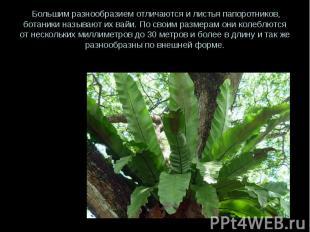 Большим разнообразием отличаются и листья папоротников, ботаники называют