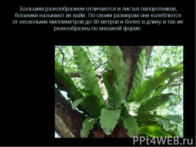 Большим разнообразием отличаются и листья папоротников, ботаники называют их вайи. По своим размерам они колеблются от нескольких миллиметров до 30 метров и более в длину и так же разнообразны по внешней форме.