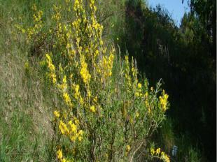 Ракитниковый паразит лишён зелёных листьев и не способен самостоятельно получать