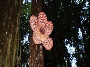 Раффлезия – самый большой в мире цветок. Он – единственная часть этого растения,