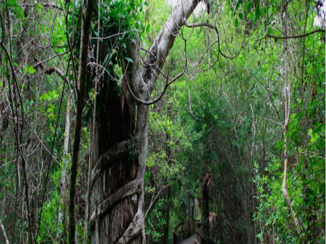 Фикус –душитель вырастает из семени, занесённого птицей или летучей мышью в крону какого – нибудь дерева. Это семя скоро пускает корни и листья. Корни быстро достигают земли и начинает впитывать из воды воду и питательные вещества, и фикус начинает …