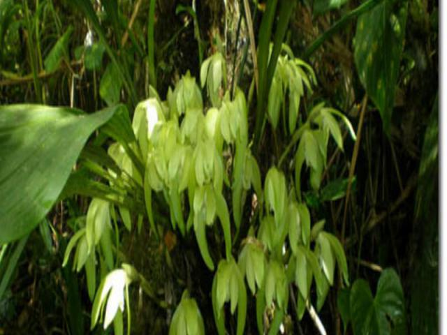 Около половины орхидей в мире обитают на ветвях других растений. Они обычно имеют толстые листья с восковой поверхностью, задерживающей испарение влаги. Некоторые виды орхидей имеют пустотелые стебли, в которых хранится вода. Около половины орхидей …