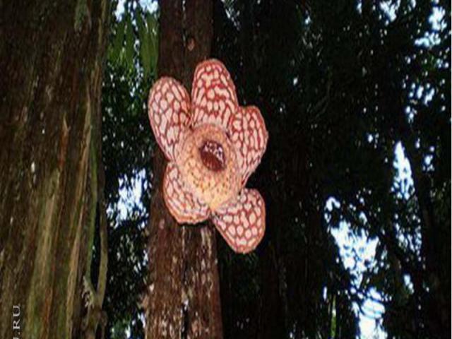 Раффлезия – самый большой в мире цветок. Он – единственная часть этого растения, находящаяся на поверхности. Остальная его часть представляет собой разветвлённую сеть нитей, пронизывающих корни лиан. Растение высасывает соки и воду из лиан и поэтому…
