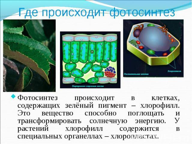 Фотосинтез происходит в клетках, содержащих зелёный пигмент – хлорофилл. Это вещество способно поглощать и трансформировать солнечную энергию. У растений хлорофилл содержится в специальных органеллах – хлоропластах. Фотосинтез происходит в клетках, …