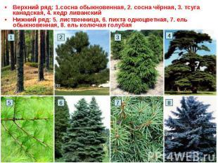 Верхний ряд: 1.сосна обыкновенная, 2. сосна чёрная, 3. тсуга канадская, 4. кедр