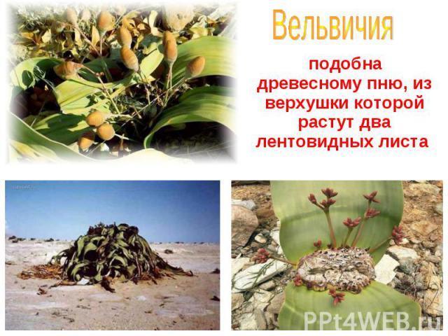 подобна древесному пню, из верхушки которой растут два лентовидных листа подобна древесному пню, из верхушки которой растут два лентовидных листа