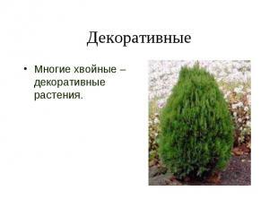 Декоративные Многие хвойные – декоративные растения.