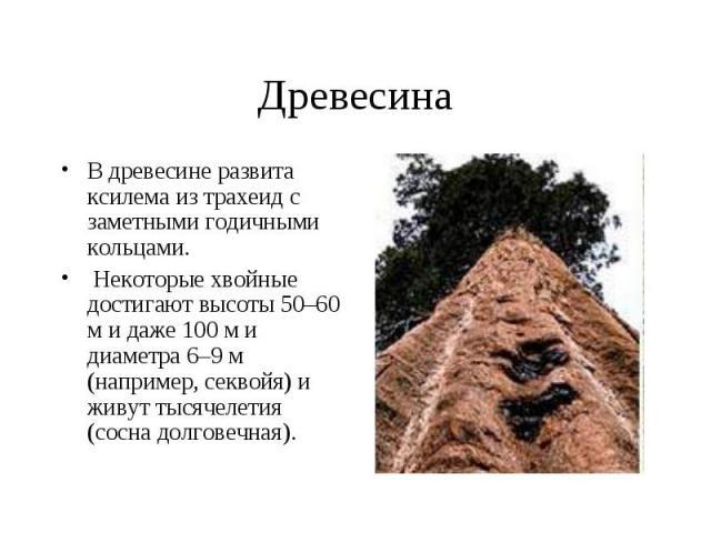 Древесина В древесине развита ксилема из трахеид с заметными годичными кольцами. Некоторые хвойные достигают высоты 50–60 м и даже 100 м и диаметра 6–9 м (например, секвойя) и живут тысячелетия (сосна долговечная).