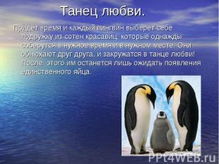 Танец любви. Придёт время и каждый пингвин выберет себе подружку из сотен красав