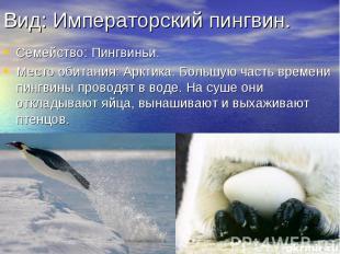 Вид: Императорский пингвин. Семейство: Пингвиньи. Место обитания: Арктика. Больш