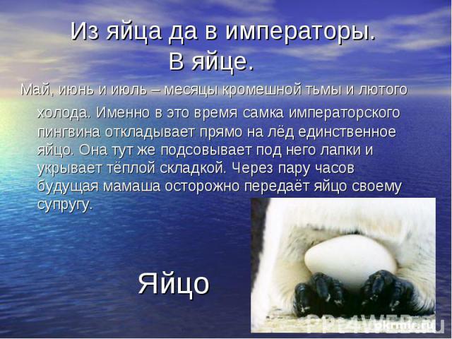 Из яйца да в императоры. В яйце. Май, июнь и июль – месяцы кромешной тьмы и лютого холода. Именно в это время самка императорского пингвина откладывает прямо на лёд единственное яйцо. Она тут же подсовывает под него лапки и укрывает тёплой складкой.…