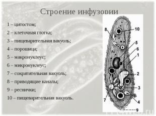 Строение инфузории 1 – цитостом; 2 – клеточная глотка; 3 – пищеварительная вакуо