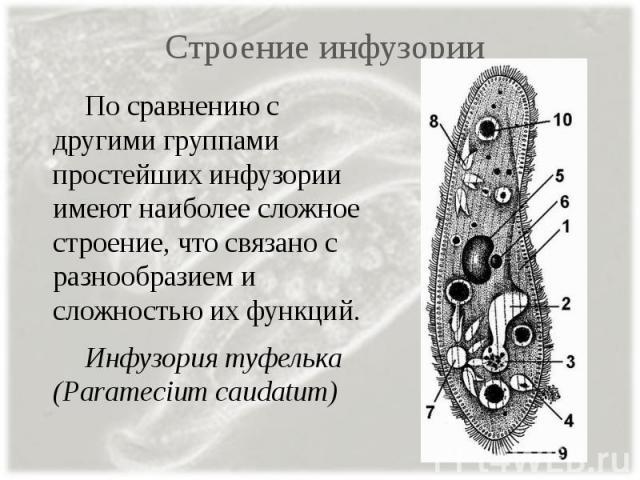 Строение инфузории По сравнению с другими группами простейших инфузории имеют наиболее сложное строение, что связано с разнообразием и сложностью их функций. Инфузория туфелька (Paramecium caudatum)