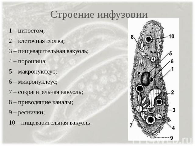 Строение инфузории 1 – цитостом; 2 – клеточная глотка; 3 – пищеварительная вакуоль; 4 – порошица; 5 – макронуклеус; 6 – микронуклеус; 7 – сократительная вакуоль; 8 – приводящие каналы; 9 – реснички; 10 – пищеварительная вакуоль.