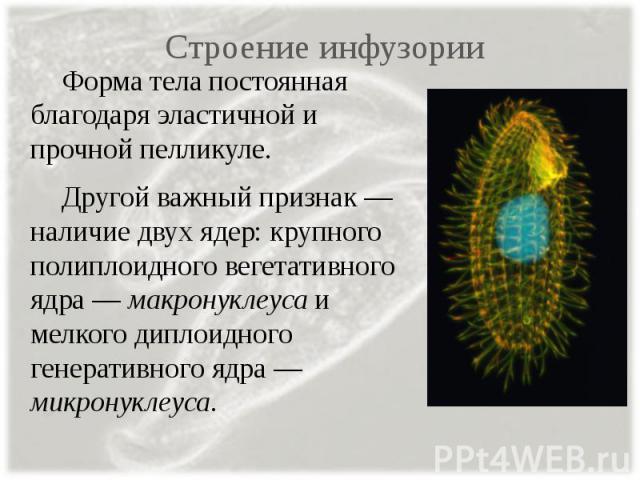 Строение инфузории Форма тела постоянная благодаря эластичной и прочной пелликуле. Другой важный признак — наличие двух ядер: крупного полиплоидного вегетативного ядра — макронуклеуса и мелкого диплоидного генеративного ядра — микронуклеуса.